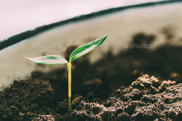 Green Sprout With Leaf, Leaves Growing. Spring, Concept Of New L - Stock Photo - Images