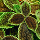 Close View Of Green Pilea Crassifolia In Botanical Garden - PhotoDune Item for Sale