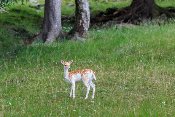 fallow deer (Dama dama) in grass. Parc de Merlet, France - Stock Photo - Images