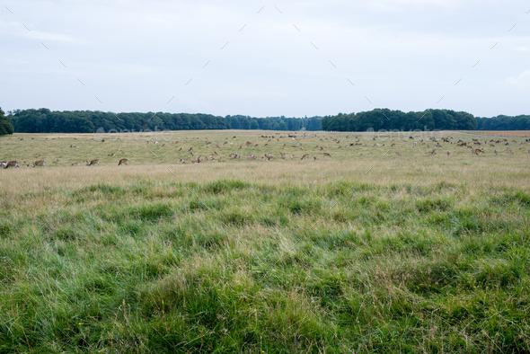 Deer in Klampenborg - Stock Photo - Images