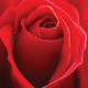 Rose Background - GraphicRiver Item for Sale