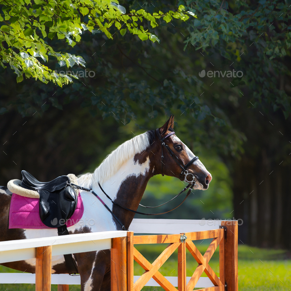 Paint horse with bridle and saddle - Stock Photo - Images