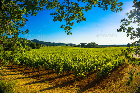 Bolgheri Castagneto vineyard and tree. Maremma Tuscany, Italy - Stock Photo - Images
