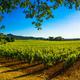Bolgheri Castagneto vineyard and tree. Maremma Tuscany, Italy - PhotoDune Item for Sale