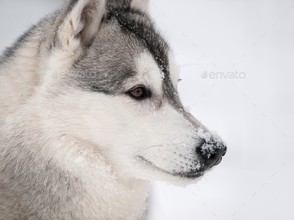 Husky dog outdoors - Stock Photo - Images