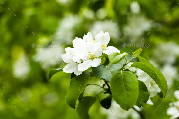 Flowering apple tree branch - Stock Photo - Images