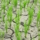 Rice Planted on Dry and Cracking Soil Due To Drought. - VideoHive Item for Sale