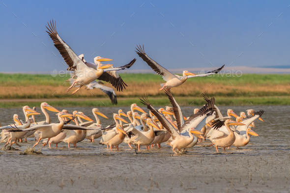 white pelicans (pelecanus onocrotalus) - Stock Photo - Images