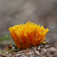 Yellow coral mushroom - PhotoDune Item for Sale