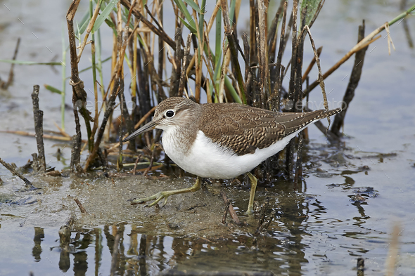 Common sandpiper (Actitis hypoleucos) - Stock Photo - Images
