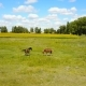 Horses Grazing In Pasture - VideoHive Item for Sale