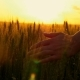 Hand of a Girl Passing Through a Field of Wheat, a Flesh Shot. - VideoHive Item for Sale