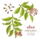 Clove Vector Set