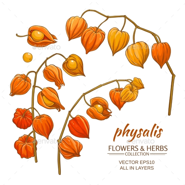 Physalis Vector Set - Food Objects