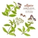 Allspice Vector Set