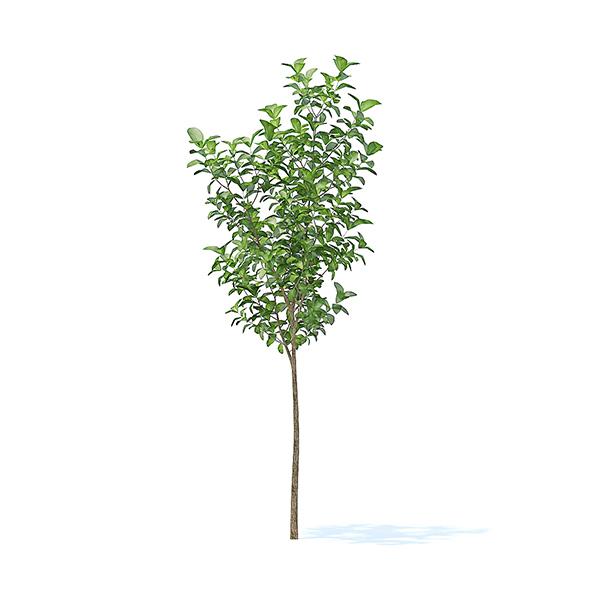 Apple Tree 3D Model 2.7m - 3DOcean Item for Sale