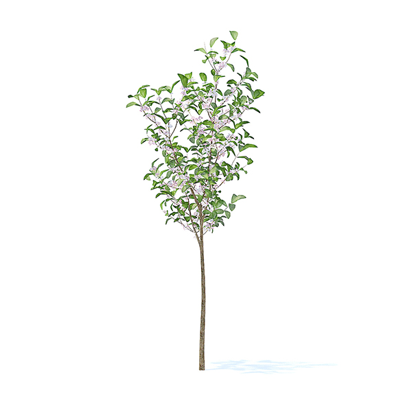 Apple Tree with Flowers 3D Model 2.7m - 3DOcean Item for Sale