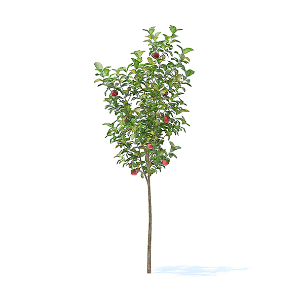 Apple Tree with Fruits 3D Model 2.7m - 3DOcean Item for Sale