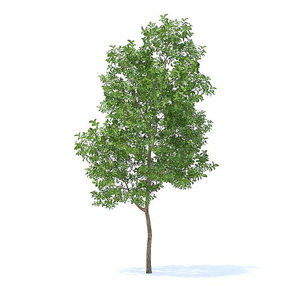 Apple Tree 3D Model 3.8m - 3DOcean Item for Sale