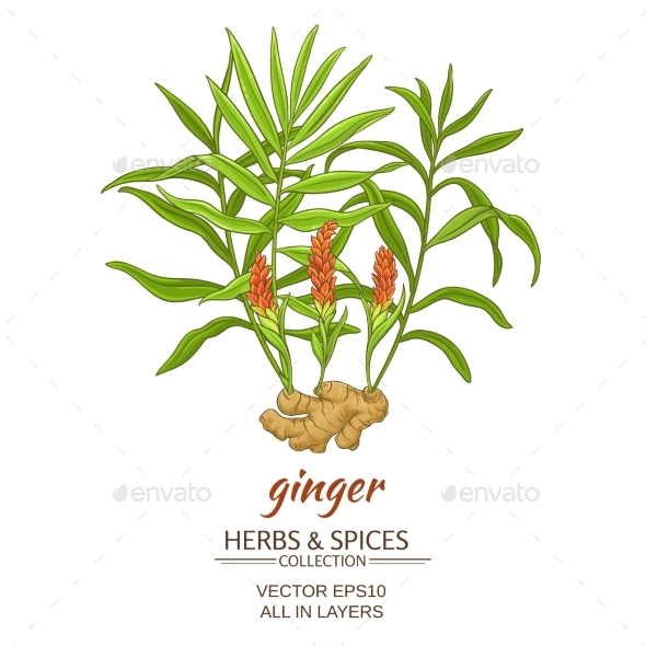 Ginger Vector Illustration - Food Objects
