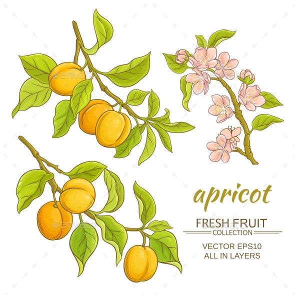 Apricot Vector Set - Food Objects