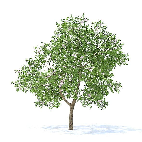Apple Tree with Flowers 3D Model 3.7m - 3DOcean Item for Sale