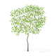 Pear Tree with Flowers 3D Model 2.4m