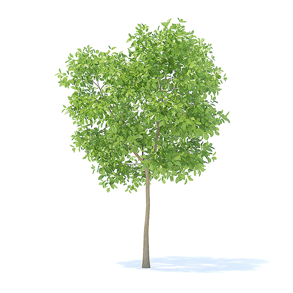 Pear Tree 3D Model 3.7m - 3DOcean Item for Sale