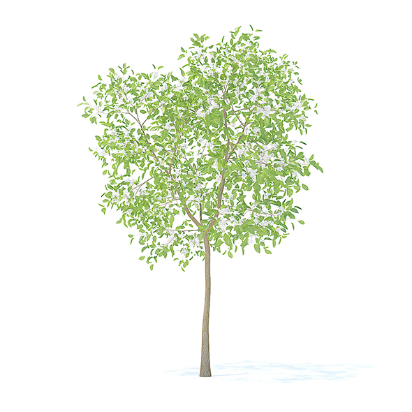 Pear Tree with Flowers 3D Model 3.7m - 3DOcean Item for Sale