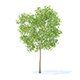 Pear Tree with Fruits 3D Model 3.7m