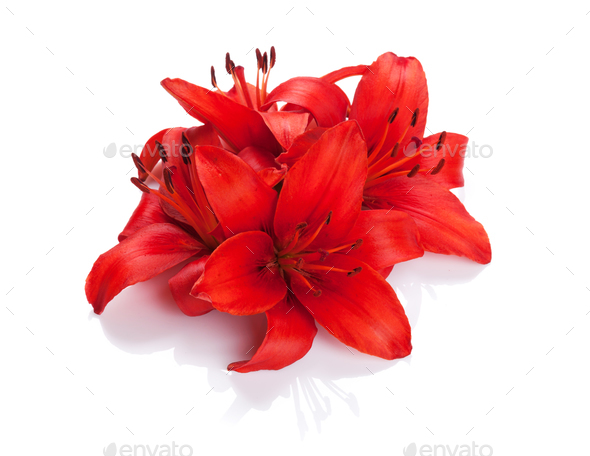 Red lily flowers - Stock Photo - Images