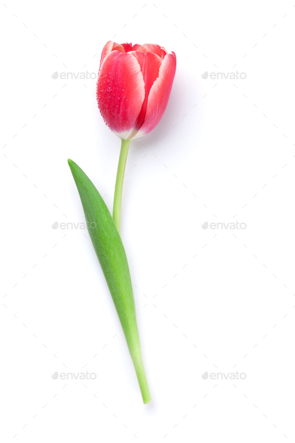 Red tulip flower - Stock Photo - Images