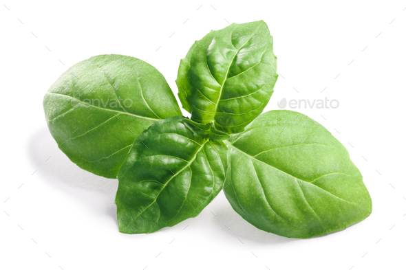 Basil O. basilicum leaves, clipping paths - Stock Photo - Images
