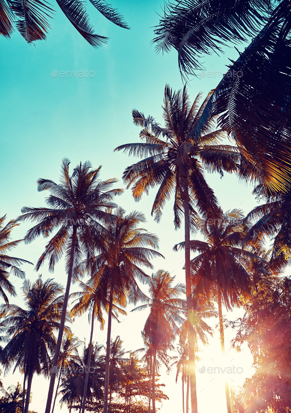 Coconut palm trees silhouettes at sunset. - Stock Photo - Images
