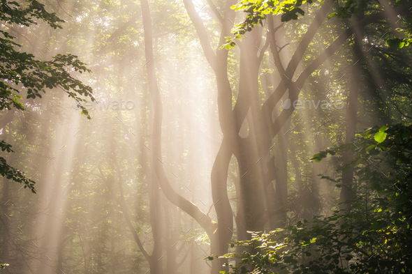 Morning sun rays in forest - Stock Photo - Images