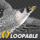 Two Bald Eagles - Flying Around - Transparent Loop - 4K - 13