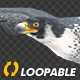 Two Bald Eagles - Flying Around - Transparent Loop - 4K - 12