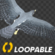 Two Bald Eagles - Flying Around - Transparent Loop - 4K - 11