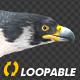 Two Bald Eagles - Flying Around - Transparent Loop - 4K - 3