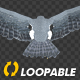 Two Bald Eagles - Flying Around - Transparent Loop - 4K - 2