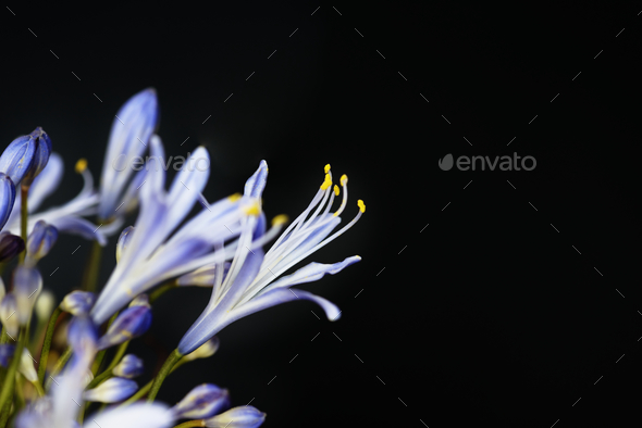 Closeup of agapanthus flower - Stock Photo - Images