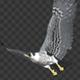 Two Bald Eagles - Flying Around - Transparent Loop - 4K - 8