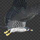 Two Bald Eagles - Flying Around - Transparent Loop - 4K - 7