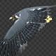 Two Bald Eagles - Flying Around - Transparent Loop - 4K - 5