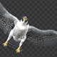 Two Bald Eagles - Flying Around - Transparent Loop - 4K - 4