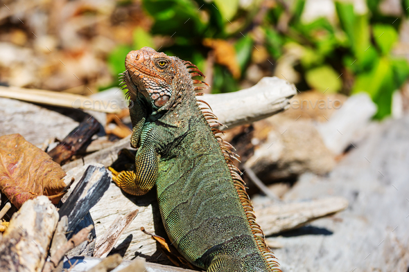Iguana - Stock Photo - Images
