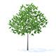Plum Tree 3D Model 3.2m