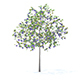 Plum Tree with Fruits 3D Model 3.2m