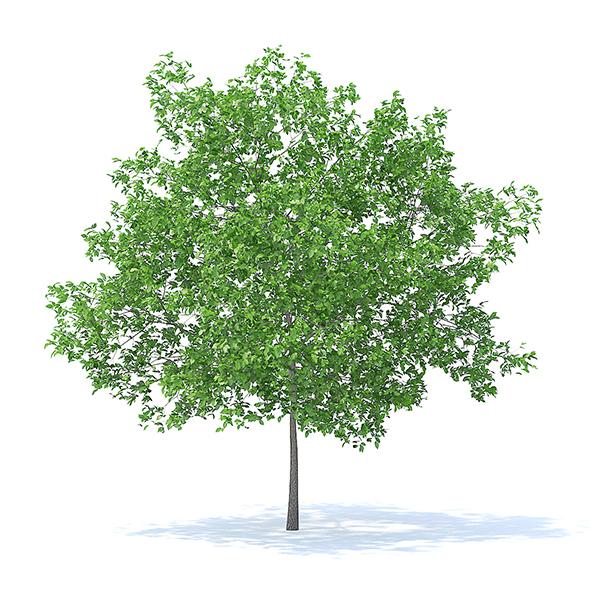 Plum Tree 3D Model 5.2m - 3DOcean Item for Sale