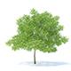 Pear Tree 3D Model 6.3m